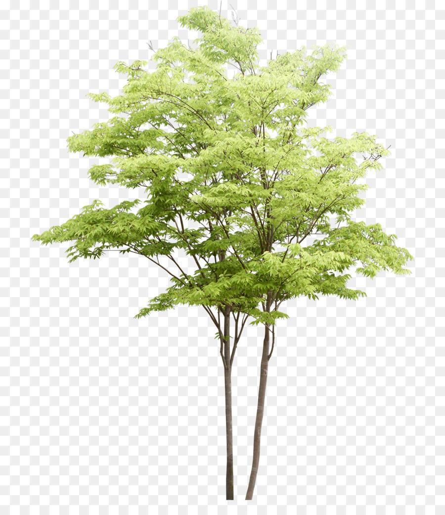 Descarga gratuita de Populus Nigra, árbol, Pintura A La Acuarela imágenes PNG