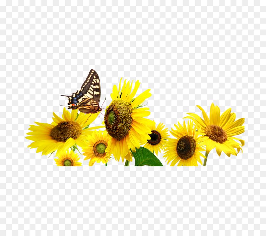 Descarga gratuita de Común De Girasol, Mariposa, Flor Imágen de Png
