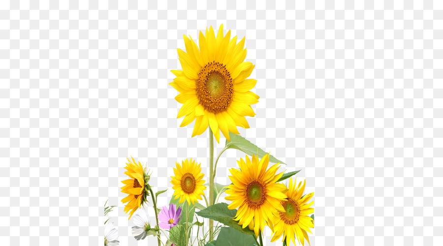 Descarga gratuita de Común De Girasol, Flor, Amarillo Imágen de Png