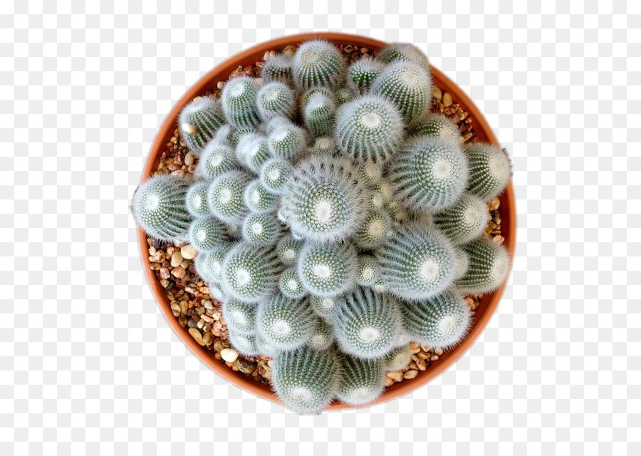 Descarga gratuita de Cactaceae, Espinas Espinas Y Las Espinas, Planta Suculenta Imágen de Png