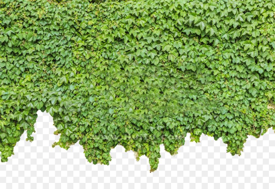 Descarga gratuita de Parthenocissus Tricuspidata, Ivy, Planta Imágen de Png