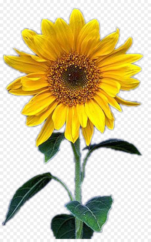 Descarga gratuita de Común De Girasol, Amarillo, Flor Imágen de Png
