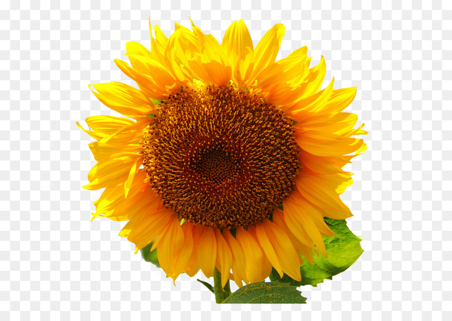 Descarga gratuita de Común De Girasol, Planta, La Semilla De Girasol Imágen de Png