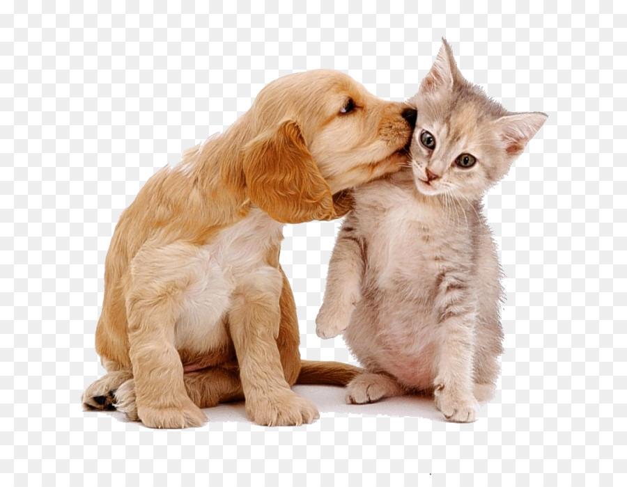 Descarga gratuita de Husky Siberiano, Maine Coon, Cachorro Imágen de Png