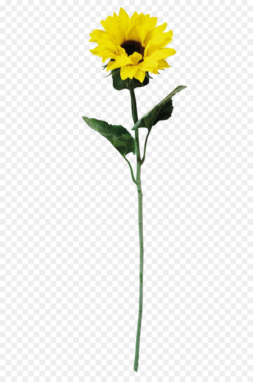 Descarga gratuita de Común De Girasol, Amarillo, Descargar Imágen de Png