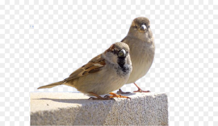 Descarga gratuita de Gorrión, Pájaro, Búho imágenes PNG