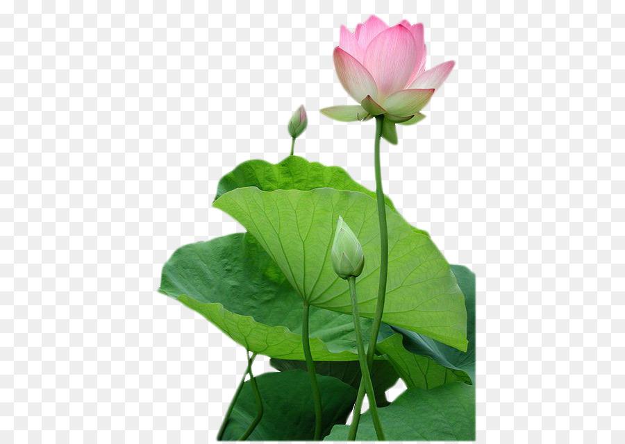 Descarga gratuita de Vietnam, El Budismo, Nelumbo Nucifera imágenes PNG