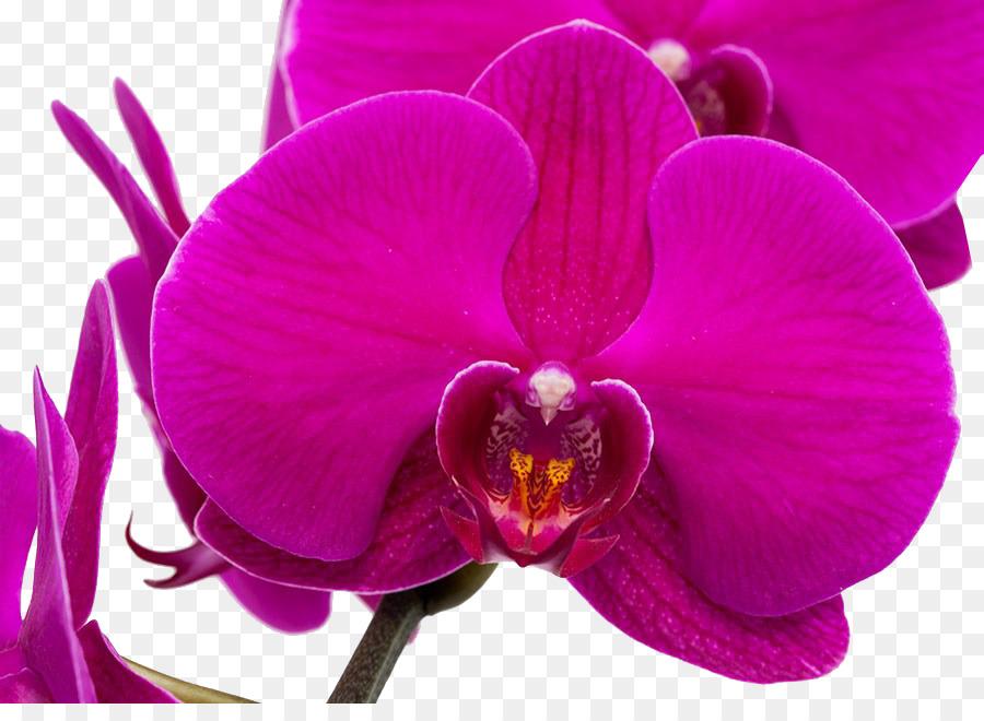 Descarga gratuita de La Polilla De Las Orquídeas, Púrpura, Las Orquídeas imágenes PNG