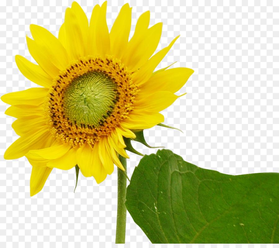 Descarga gratuita de Común De Girasol, Descargar, Flor Imágen de Png