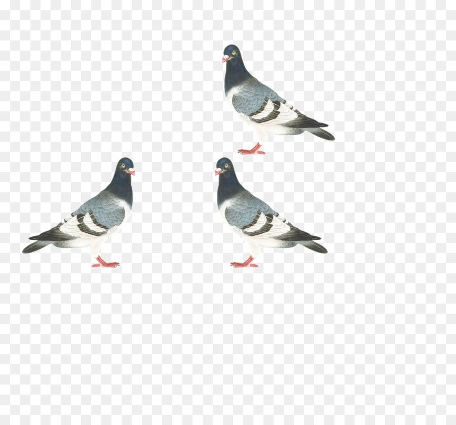 Descarga gratuita de Homing Pigeon, Stock Paloma, Columbidae Imágen de Png