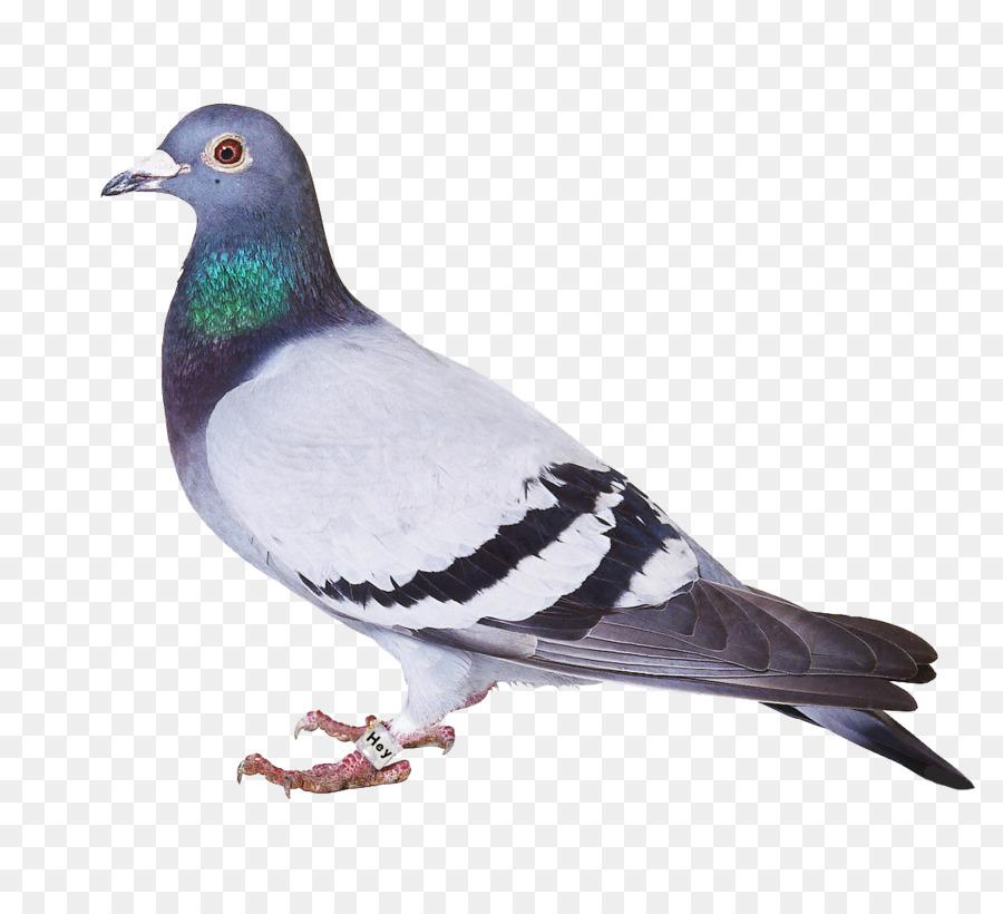 Descarga gratuita de Pájaro, Homing Pigeon, Columbidae Imágen de Png