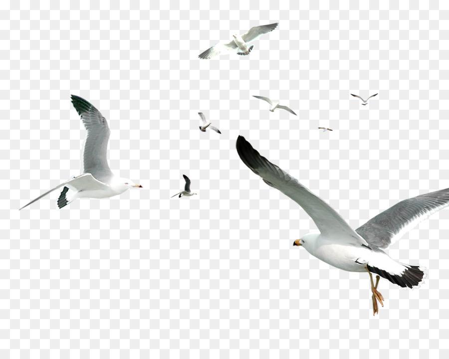 Descarga gratuita de Pájaro, Las Gaviotas, Ave Que Vuela imágenes PNG