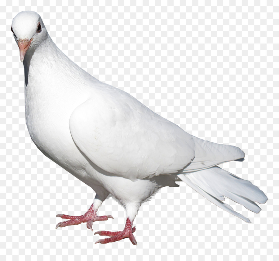 Descarga gratuita de Paloma Nacional, Columbidae, Pájaro Imágen de Png