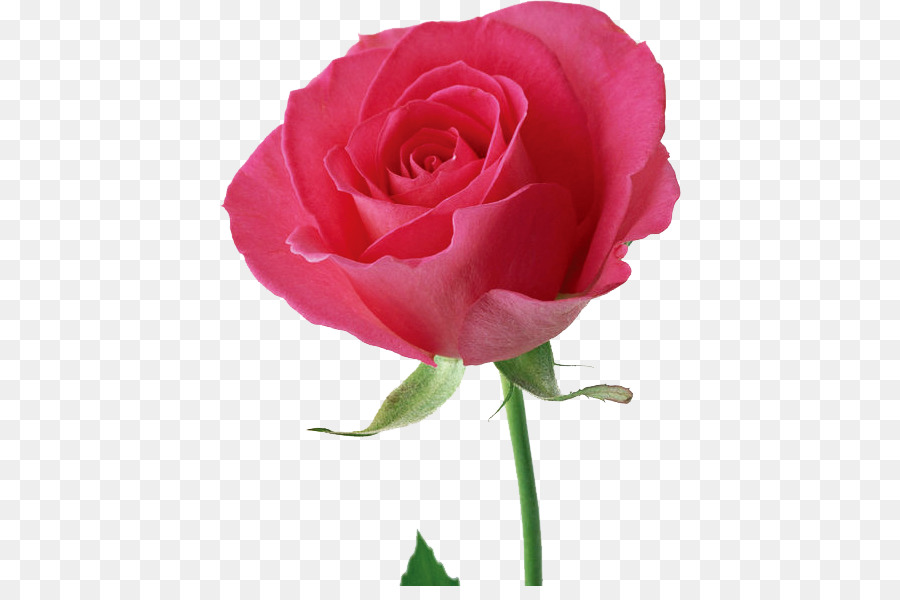 Descarga gratuita de Rosa, Flor, Flores De Color Rosa Imágen de Png