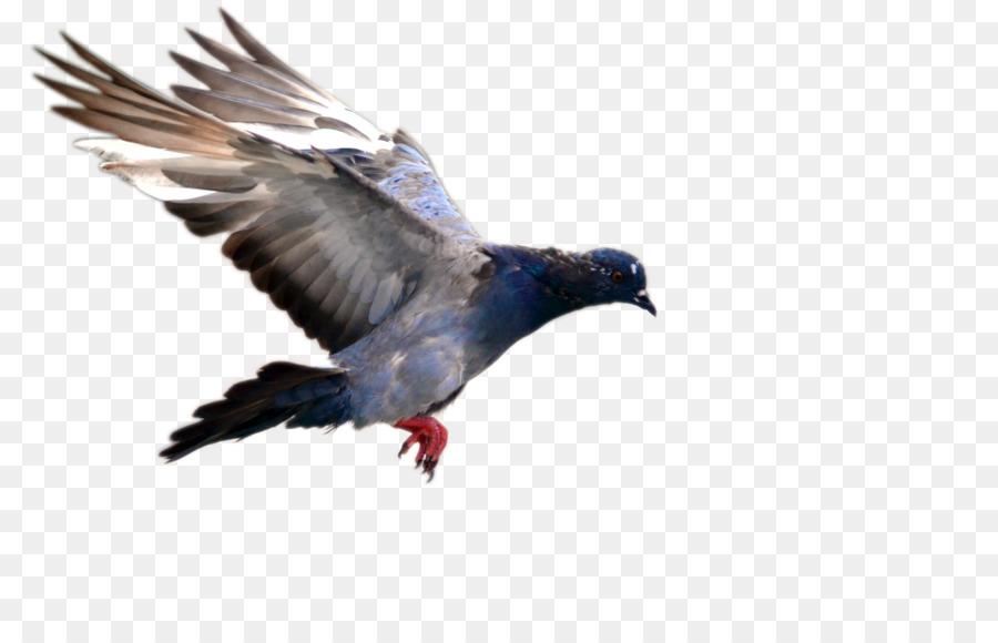 Descarga gratuita de Pájaro, Paloma Nacional, Vuelo Imágen de Png
