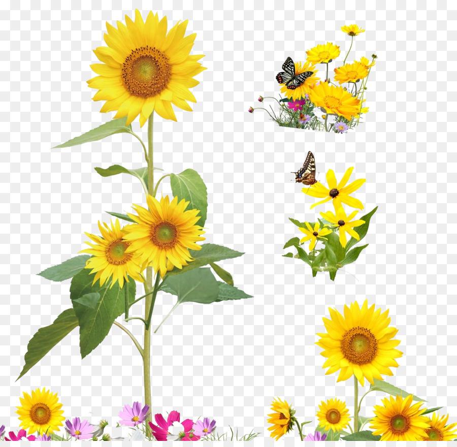 Descarga gratuita de Común De Girasol, De Dibujos Animados, Flor Imágen de Png