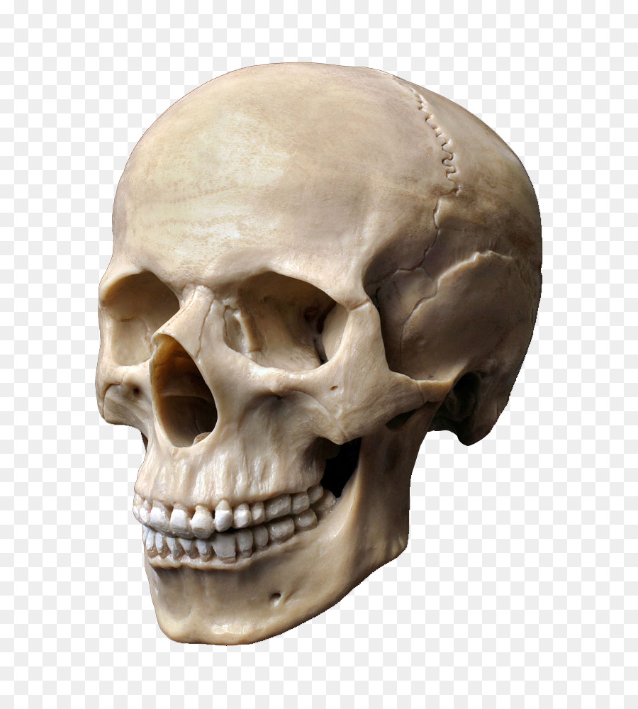 Descarga gratuita de Una Fotografía De Stock, Esqueleto Humano, Cráneo Humano Imágen de Png