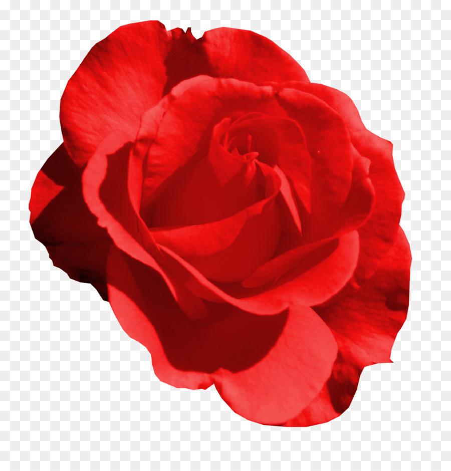 Descarga gratuita de Las Rosas De Jardín, Rosas Centifolia, Flor Imágen de Png