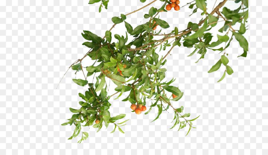 Descarga gratuita de Granada, Planta, árbol Imágen de Png