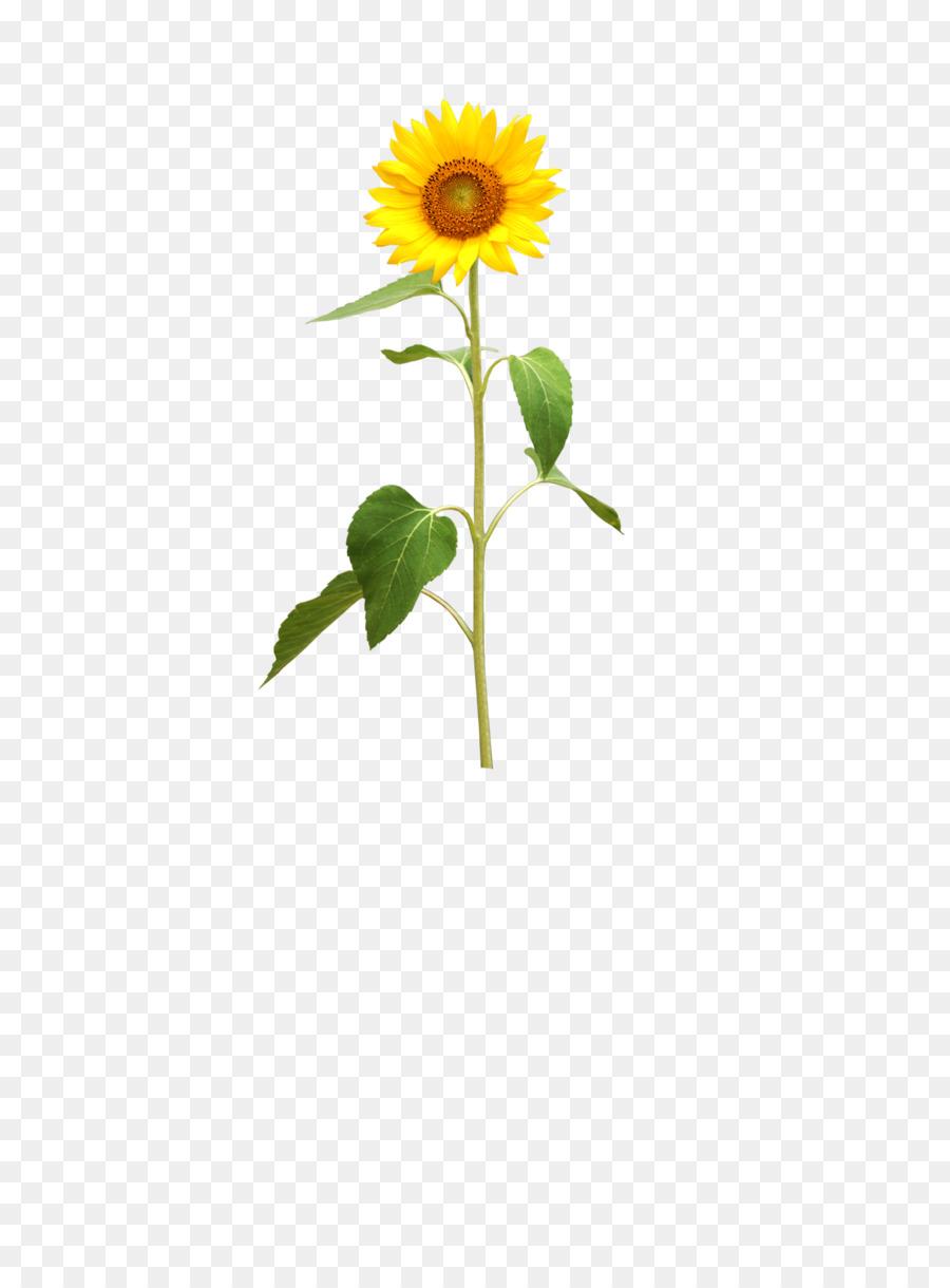 Descarga gratuita de Común De Girasol, Flor, Pétalo Imágen de Png