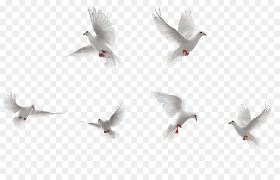 Descarga gratuita de Pájaro, Rock Dove, Vuelo imágenes PNG