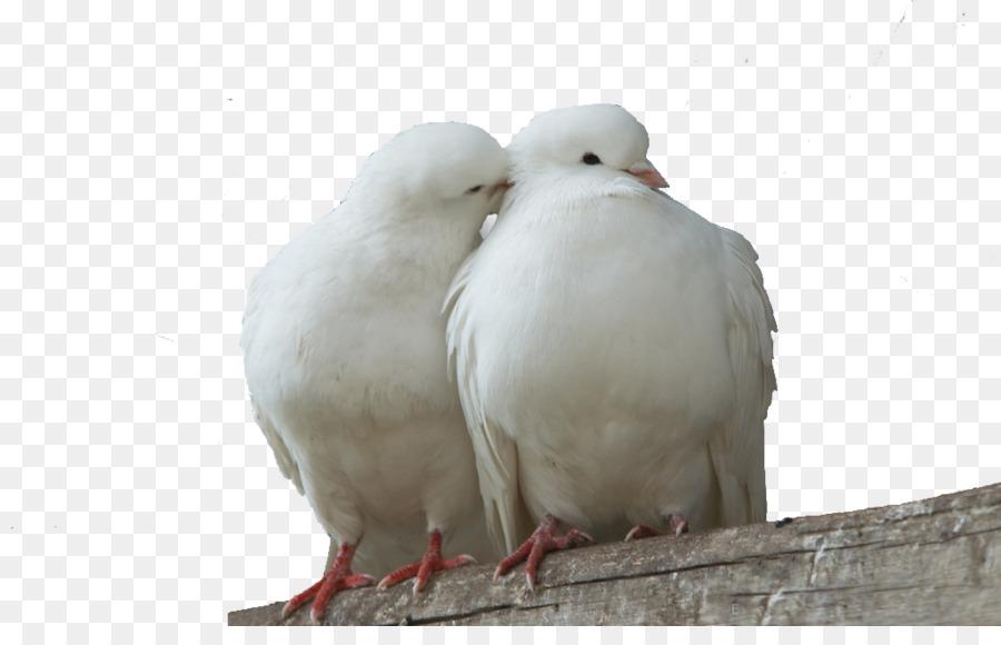 Descarga gratuita de Columbidae, Pájaro, Paloma Nacional Imágen de Png