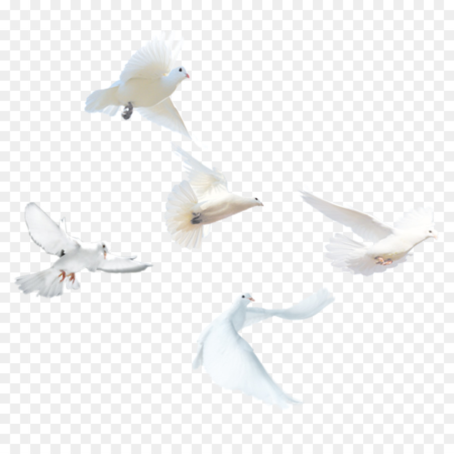 Descarga gratuita de Paloma Nacional, Pájaro, Columbidae imágenes PNG