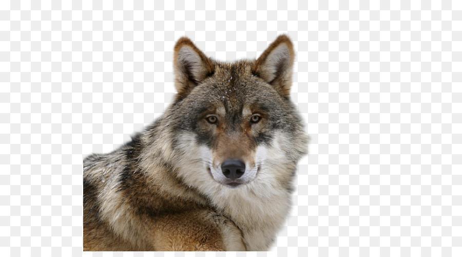 Descarga gratuita de Perro Lobo Checoslovaco, Saarloos Lobo, Tundra De Alaska Lobo imágenes PNG