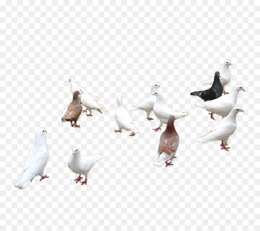 Descarga gratuita de Columbidae, Pájaro, Descargar imágenes PNG