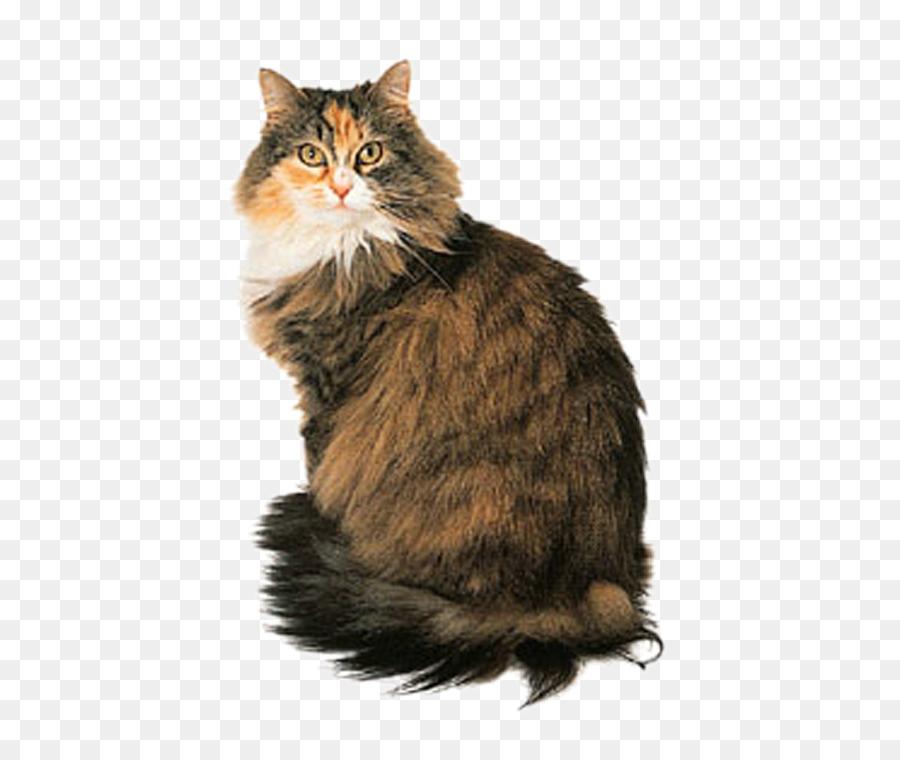 Descarga gratuita de Maine Coon, Gato Persa, Angora Turco Imágen de Png