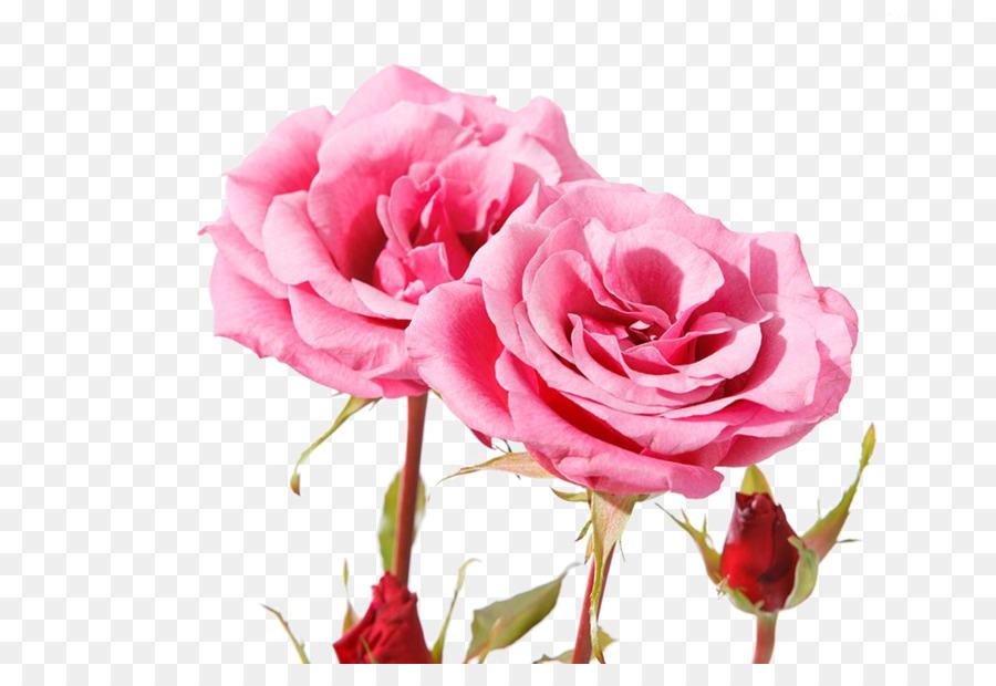Descarga gratuita de Las Rosas De Jardín, Rosas Centifolia, Rosa Beach Imágen de Png