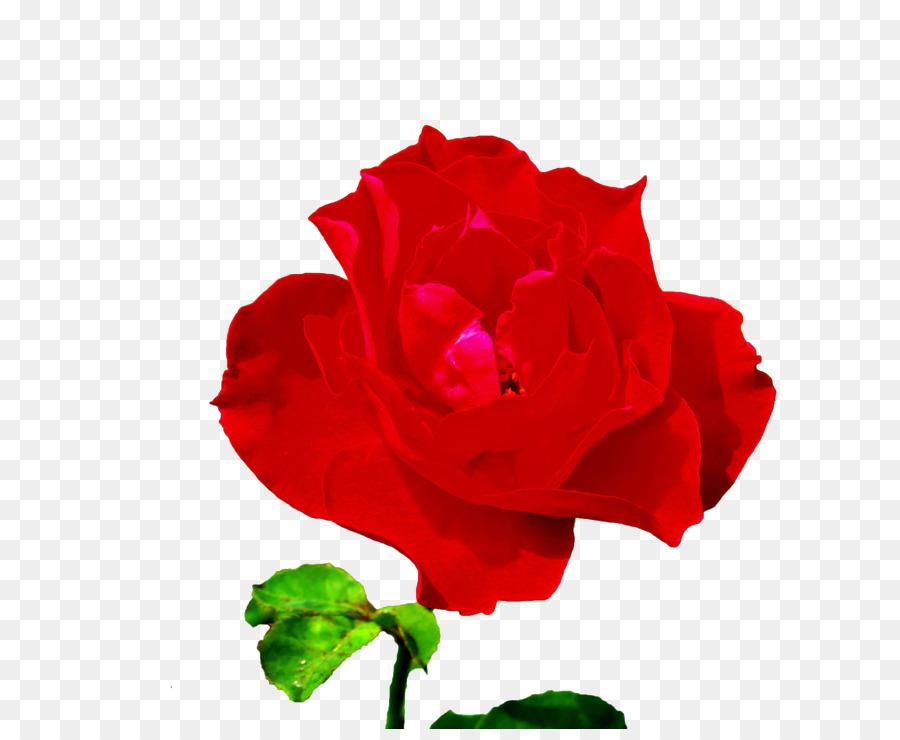 Descarga gratuita de Rosa Chinensis, Las Rosas De Jardín, Rosas Centifolia Imágen de Png