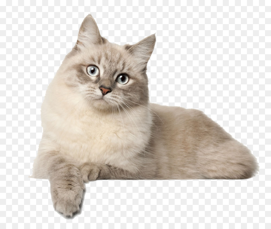 Descarga gratuita de Gato Siberiano, British Shorthair, Abisinio Imágen de Png