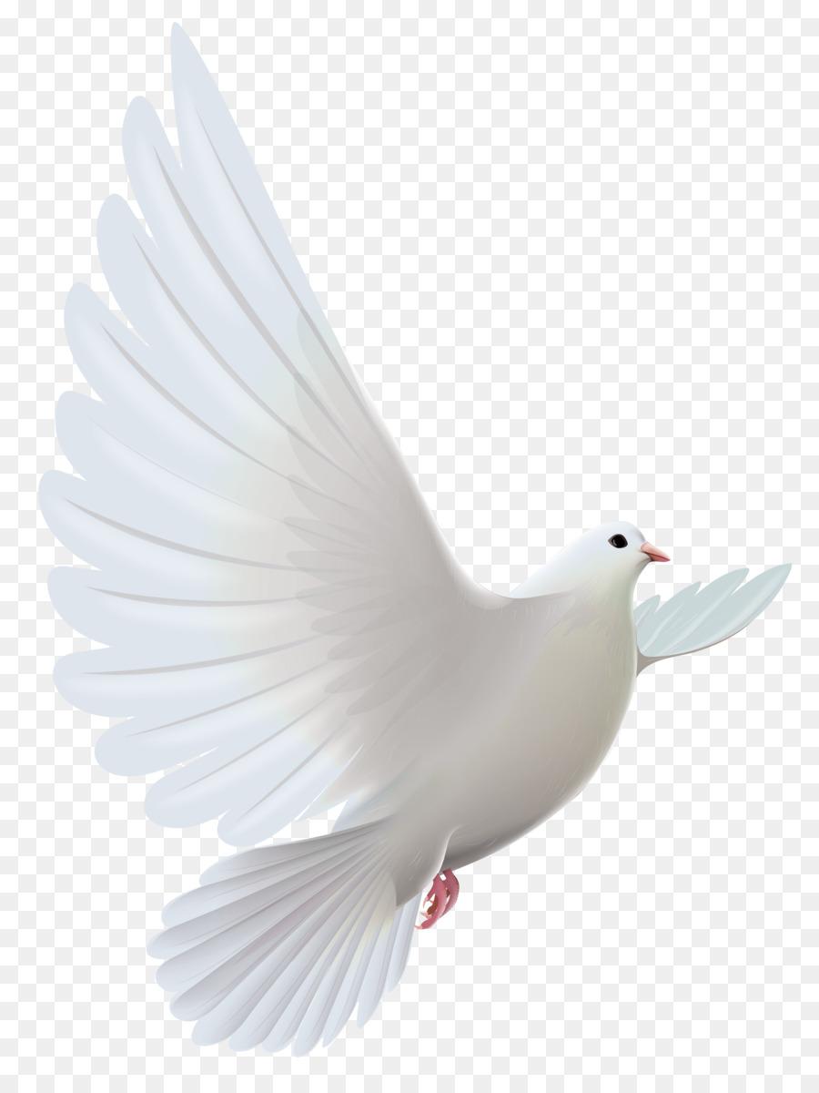 Descarga gratuita de Columbidae, Pájaro, Paloma Nacional imágenes PNG
