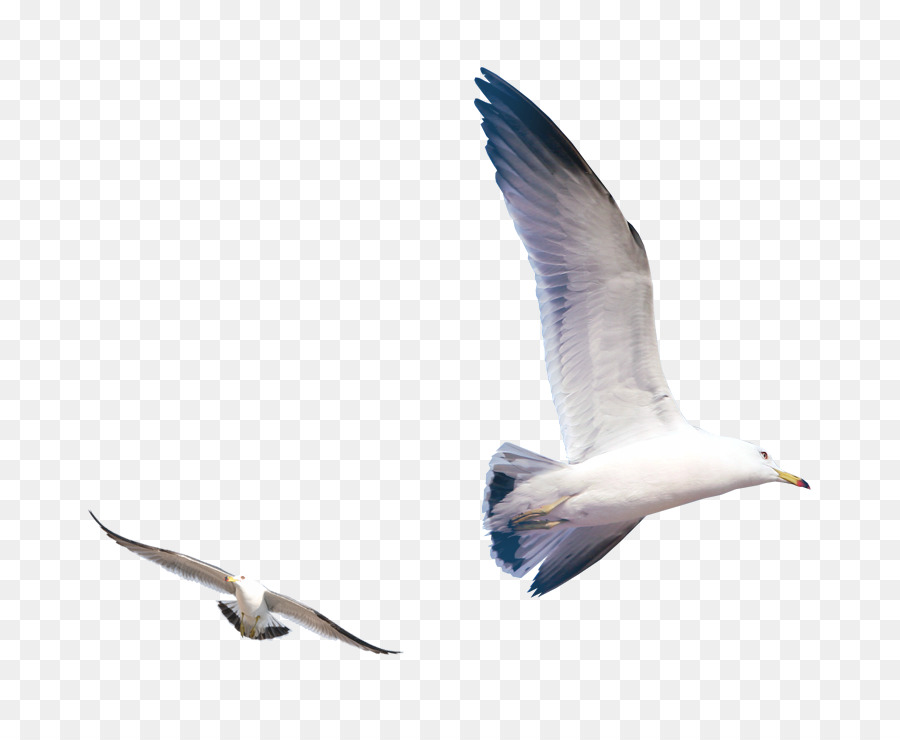 Descarga gratuita de Las Gaviotas, Pájaro, Iconos De Equipo Imágen de Png