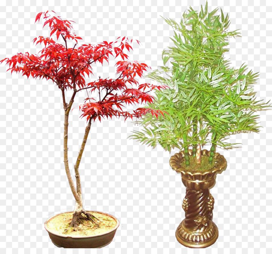 Descarga gratuita de Arce Rojo, Bonsai, Bambusa Ventricosa Imágen de Png