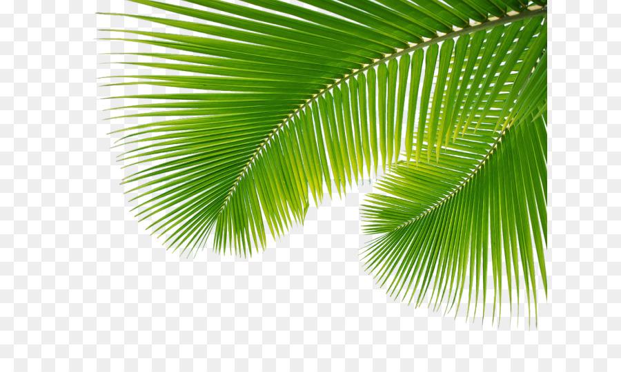 Descarga gratuita de Arecaceae, Hoja, Rama De Palma Imágen de Png