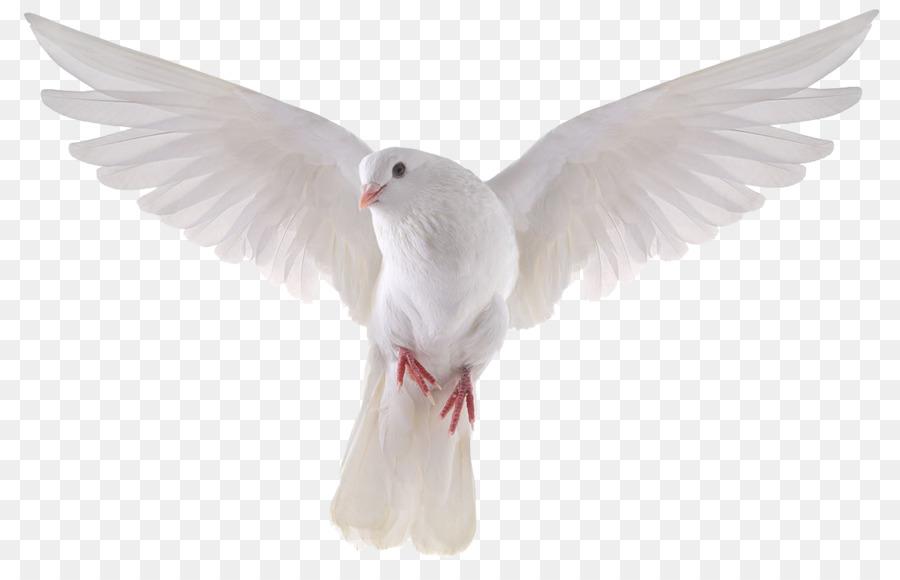 Descarga gratuita de Columbidae, Paloma Nacional, Pájaro imágenes PNG