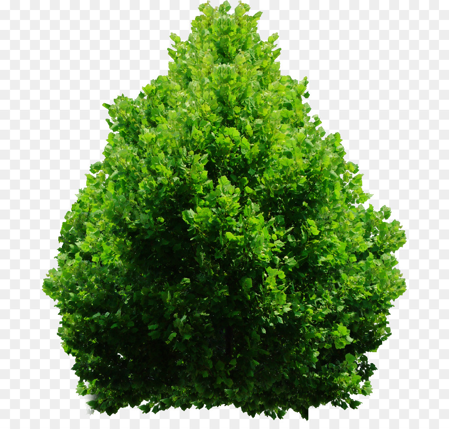 Descarga gratuita de Evergreen, Arbusto, árbol imágenes PNG