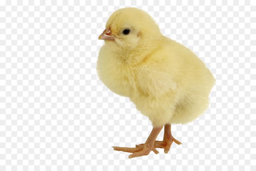 Descarga gratuita de Pollo, La Carne De Pollo, Fondo De Escritorio imágenes PNG
