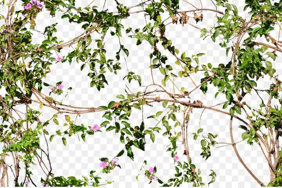 Descarga gratuita de Vid, Flor, árbol Imágen de Png