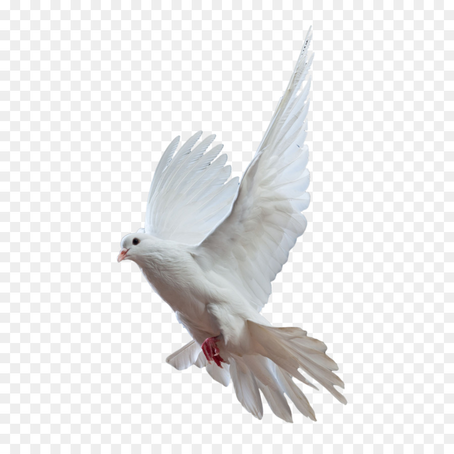 Descarga gratuita de Rock Dove, Homing Pigeon, Pájaro Imágen de Png