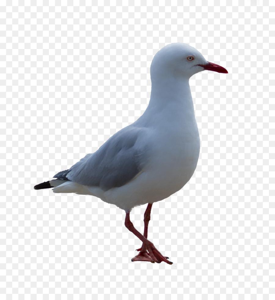 Descarga gratuita de Pájaro, Marfil Gaviotas, Descargar Imágen de Png