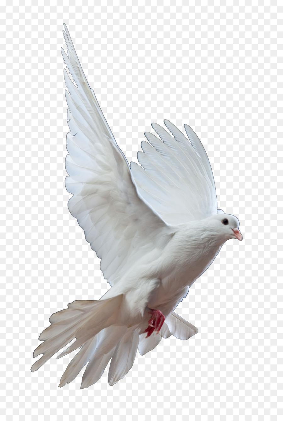 Descarga gratuita de Homing Pigeon, Columbidae, Pájaro Imágen de Png