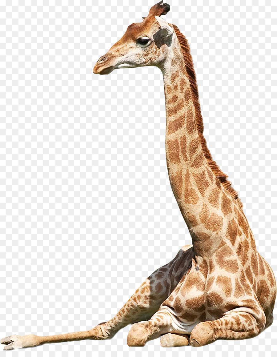 Descarga gratuita de El Norte De La Jirafa, Panthera, áfrica Occidental Jirafa imágenes PNG