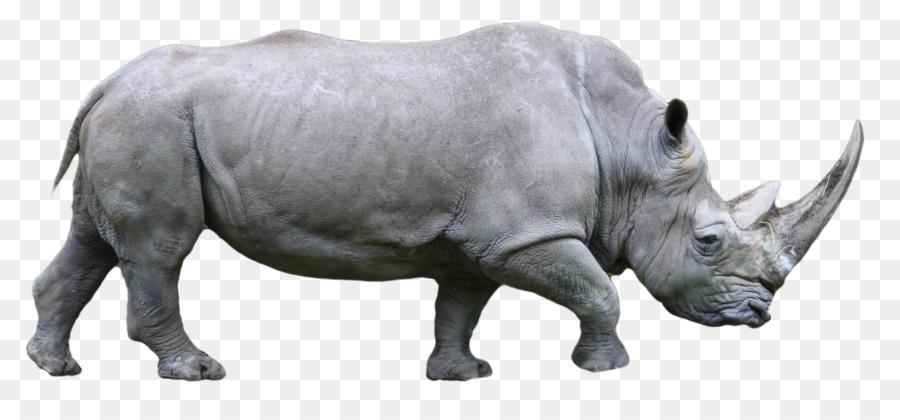 Descarga gratuita de El Rinoceronte, El Rinoceronte Negro Occidental, Rinoceronte Blanco imágenes PNG