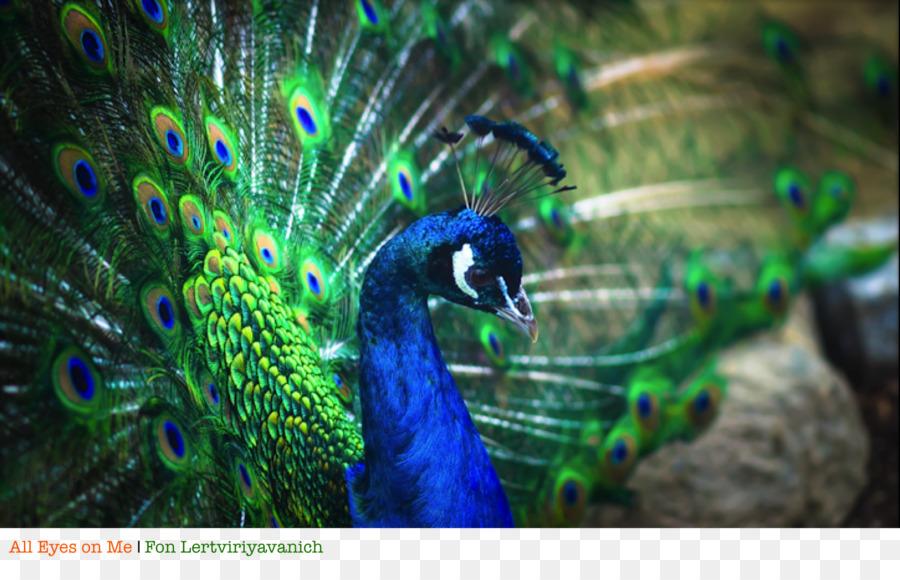 Descarga gratuita de Pájaro, Pavo Real, Pluma imágenes PNG