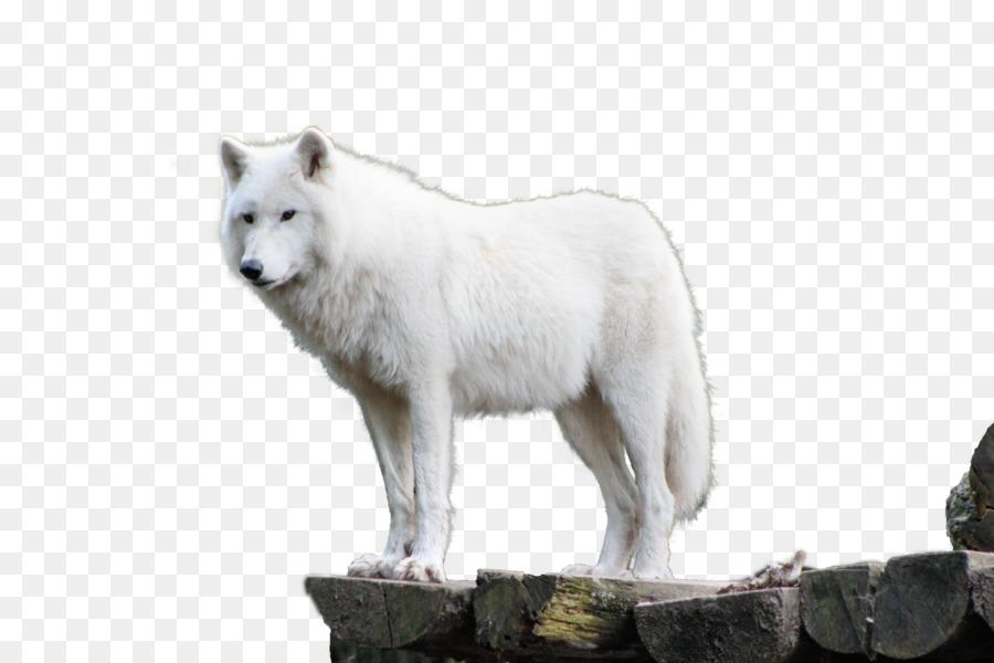 Descarga gratuita de Perro, Tundra De Alaska Lobo, El Lobo ártico imágenes PNG