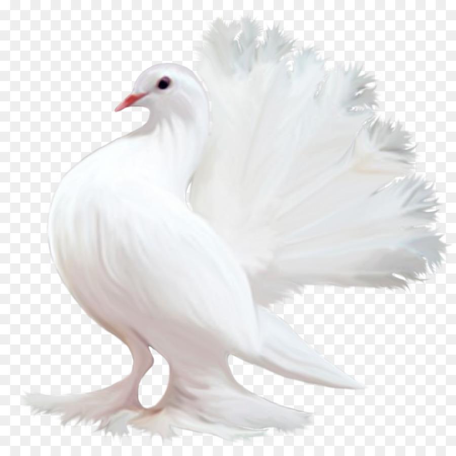 Descarga gratuita de Homing Pigeon, Pájaro, Columbidae Imágen de Png