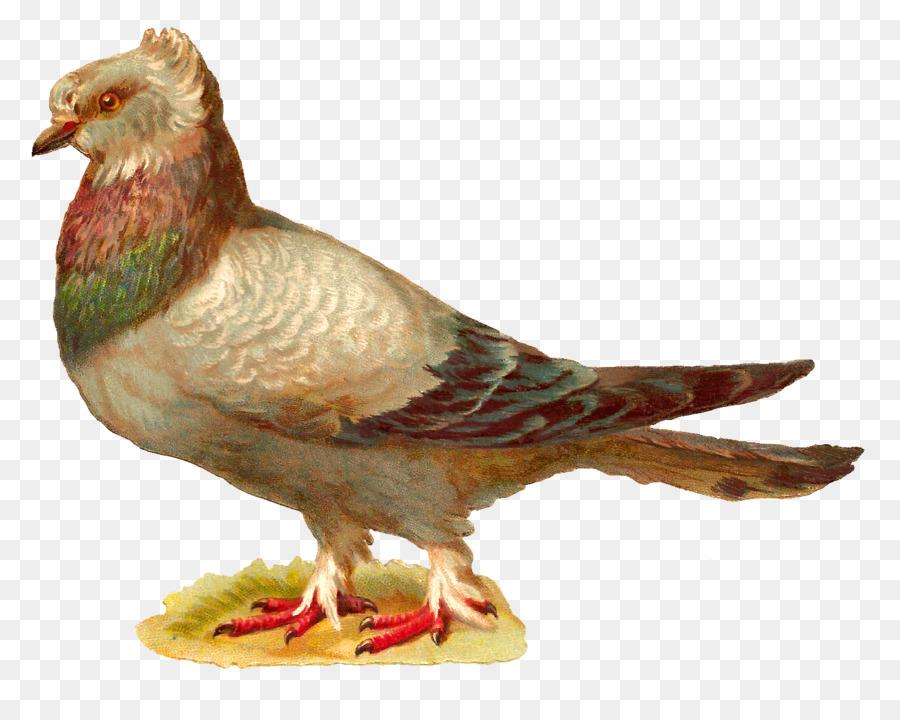 Descarga gratuita de Inglés Paloma Mensajera, Homing Pigeon, Pájaro Imágen de Png
